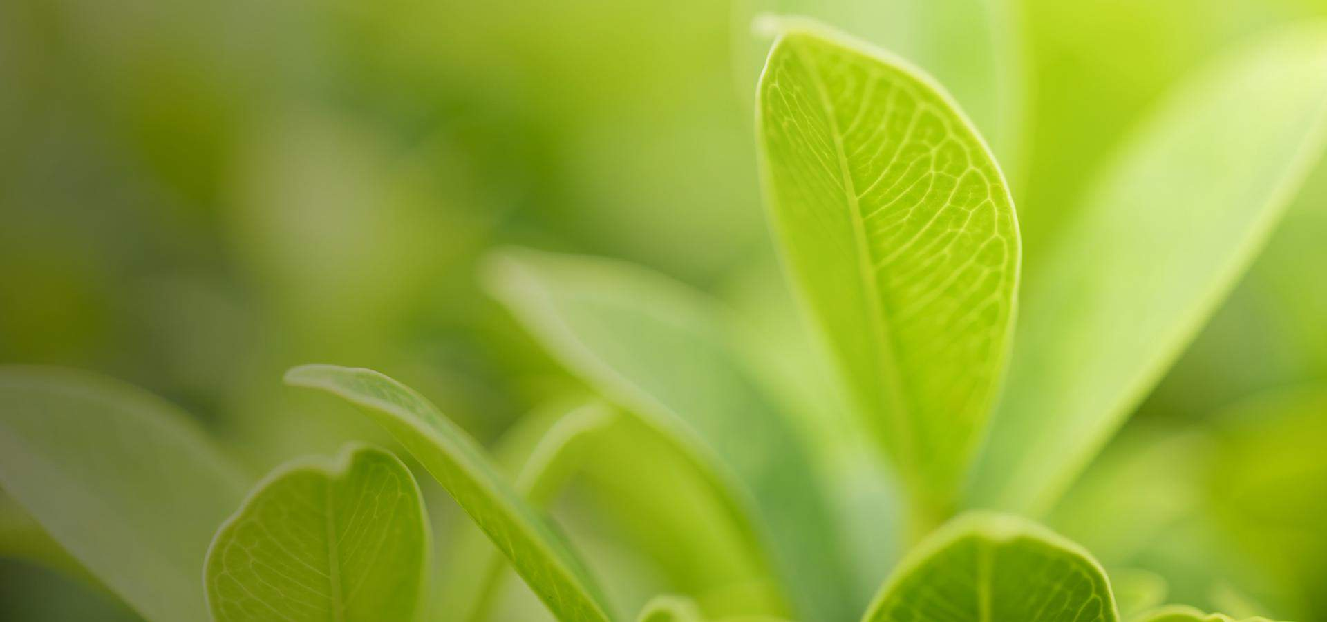 Close-up shot of bright green leaves, soft focus